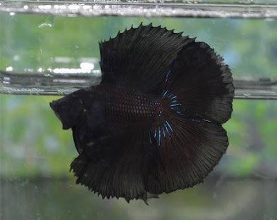 Halfmoon Double Tail Black