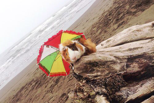 Cavia op het strand met parasol