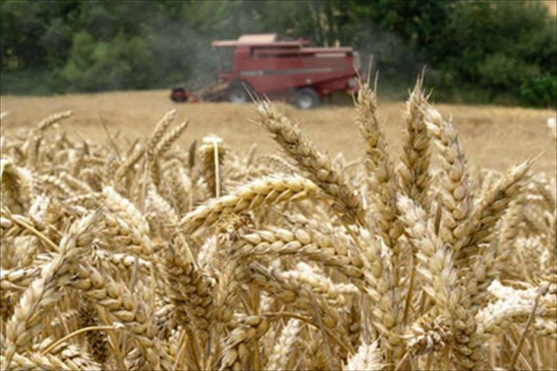 El calentamiento global reducirá la producción mundial de trigo