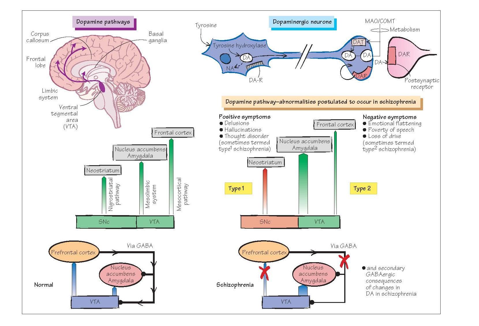 Neurochemical Disorders II: Schizophrenia, delusions, hallucinations, The dopamine hypothesis of schizophrenia,