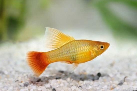 Platy - Beginner Fish