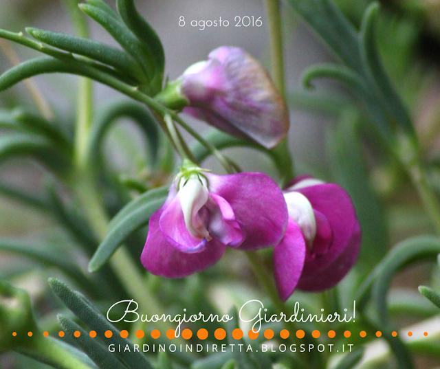 cicerchione (lathyrus latifolius l.) - il giardino dalla A alla Z -  i fiori della settimana - un giardino in diretta