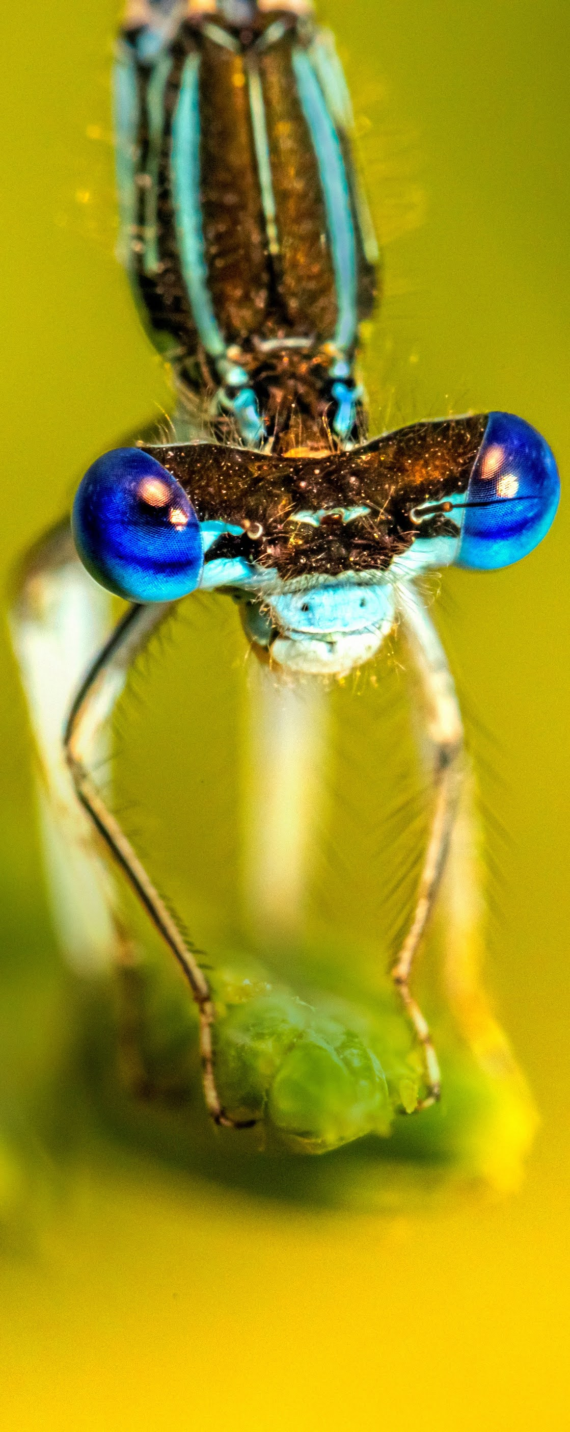 A dragonfly with blue eyes.