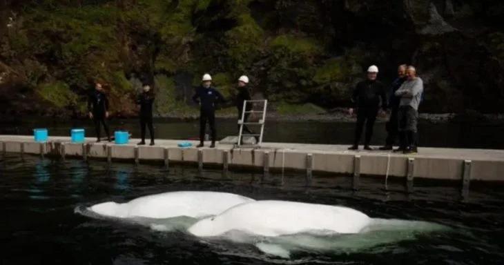 Ballenas beluga sonríen al ser liberadas tras 10 años de cautiverio en un acuario de China
