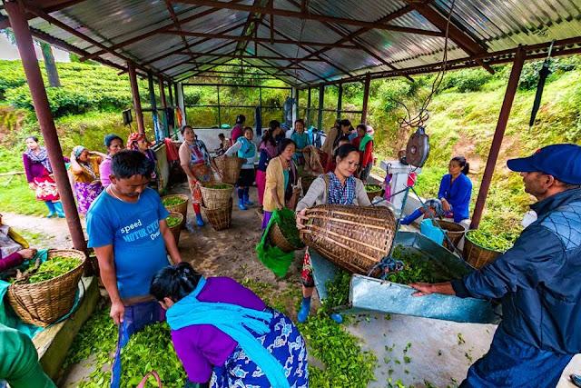 Darjeeling planters seek ban on sale of loose tea