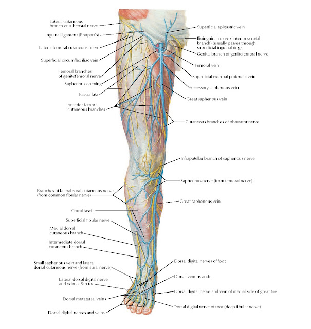 Superficial Nerves and Veins of Lower Limb: Anterior View Anatomy