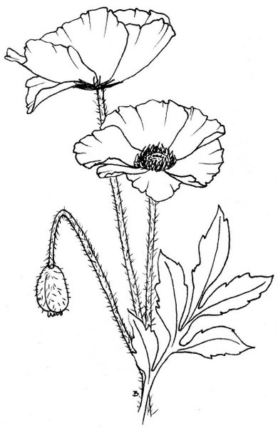 coloring pages of poppy flower best coloring pages