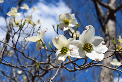 Missouri flowering tree, spring in Missouri, Lake of the Ozarks, flowering dogwood