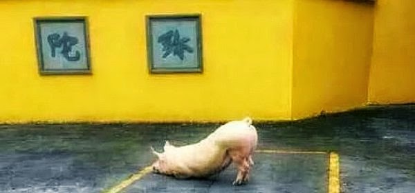 the holy pig seen kneeling on its forelimbs before the Buddhist temple in China via geniushowto.blogspot.com rare animal encounters and photos