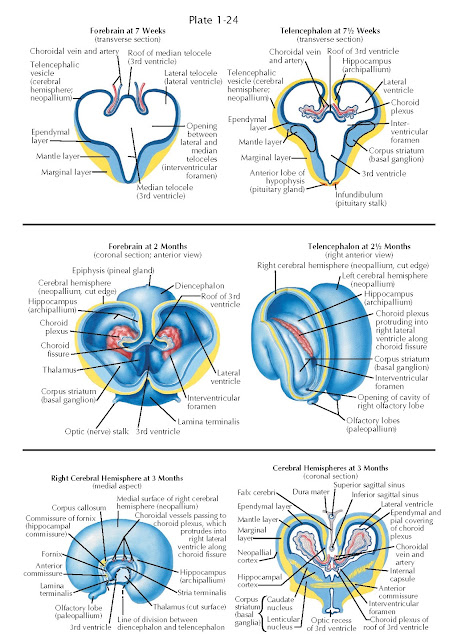 MORPHOGENESIS AND REGIONAL DIFFERENTIATION OF THE FOREBRAIN