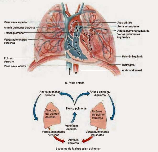 Venas - Sistema circulatorio