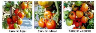 Varietas tomat yang dianjurkan untuk ditanam