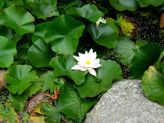 Encyklopedia roślin- rośliny do ogrodów wodnych
