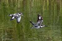 Pied Kingfishers - Birds In Flight Photography Cape Town: Canon EOS 7D Mark II Gallery Copyright Vernon Chalmers