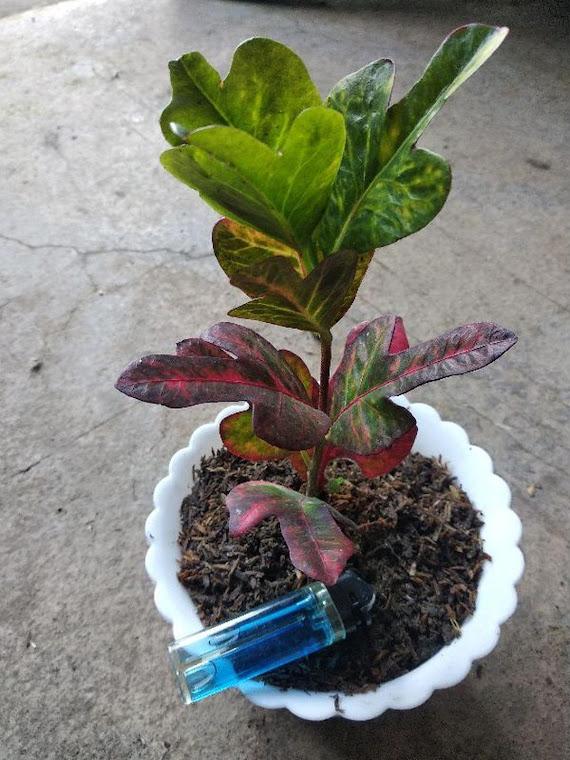 Tanaman Hias Puring Mini Liliput Salatiga