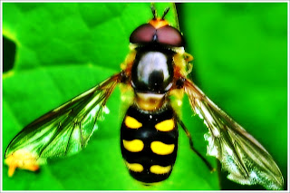 flower flies, Hover flies,syrphid flies, hover flies facts