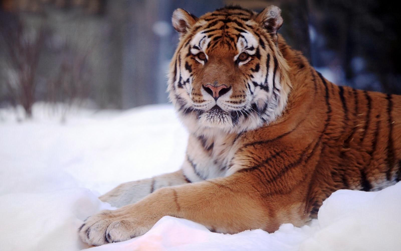 Harimau-Duduk di atas salju