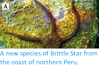 http://sciencythoughts.blogspot.co.uk/2014/06/a-new-species-of-brittle-star-from.html