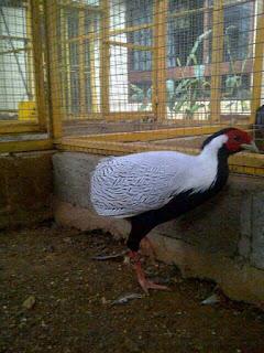 Silver Pheasant Dewasa Jantan