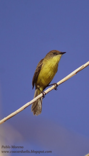 "alt=""doradito limon,Peudocolapterix citreola,aves de Mendoza"""