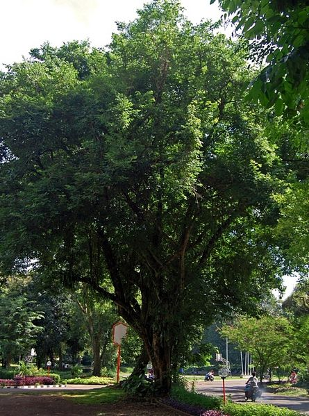 Pohon Sonokeling