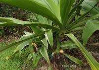 Poison bulb - crinum asiaticum - Ho'omaluhia Botanical Garden, Kaneohe, HI