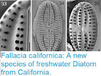https://sciencythoughts.blogspot.com/2018/05/fallacia-californica-new-species-of.html