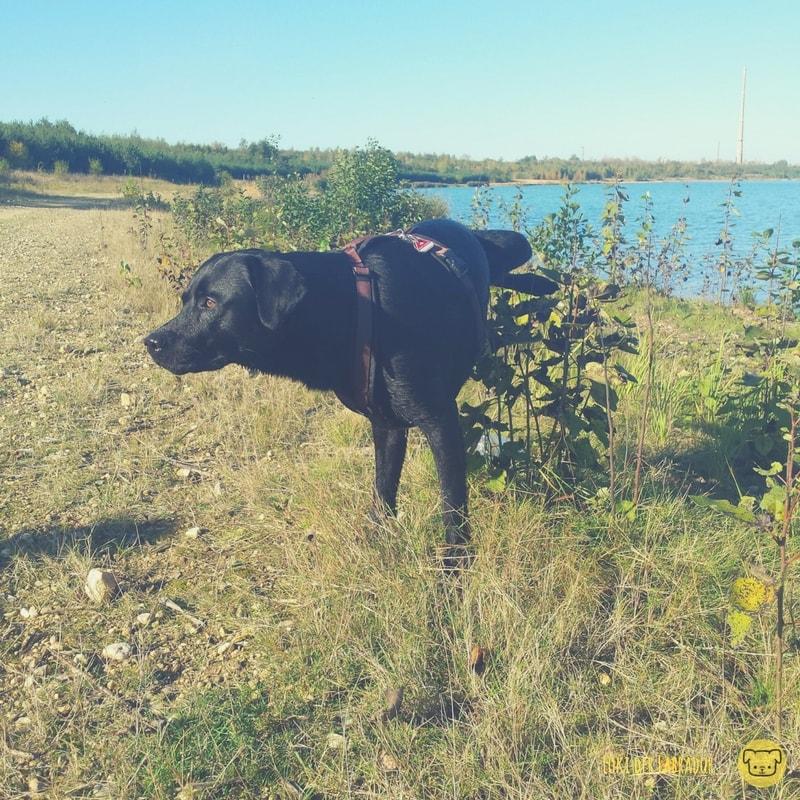 Schwarzer Labrador markiert am See