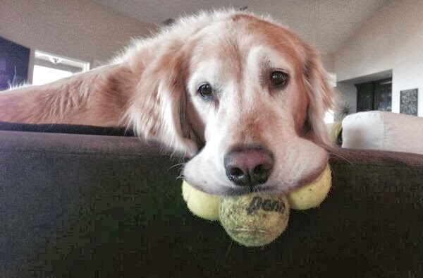 Cute dogs - part 9 (50 pics), golden retriever with three balls on his mouth
