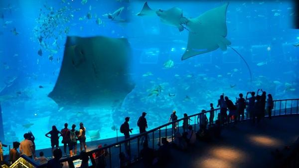 Reef Manta Ray sở hữu kích thước cực kỳ to lớn