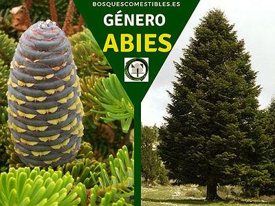 El género Abies más conocidos como los Abetos, Familia Pináceas