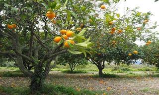 Orange (Malta) fruit crop Guidelines for Ambia bahar