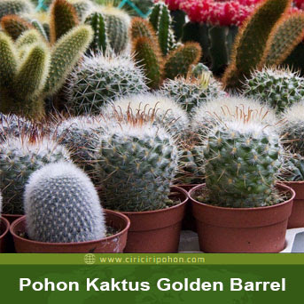 ciri ciri pohon kaktus golden barrel
