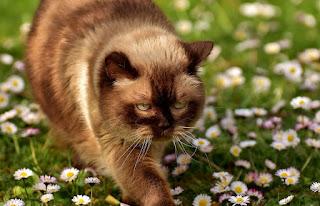 القط البريطاني قصير الشعر British Shorthair