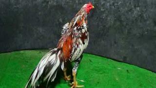 Mitos ayam tunggir dua/centil dua