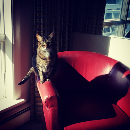 image of Sophie the Torbie Cat sitting on the arm of a red chair in the late afternoon sunshine