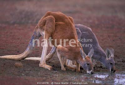 Canguro rojo (Macropus rufus)