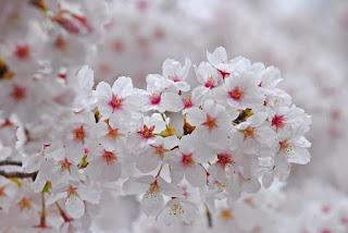 Gambar Bunga Sakura Paling cantik di Jepang 3000