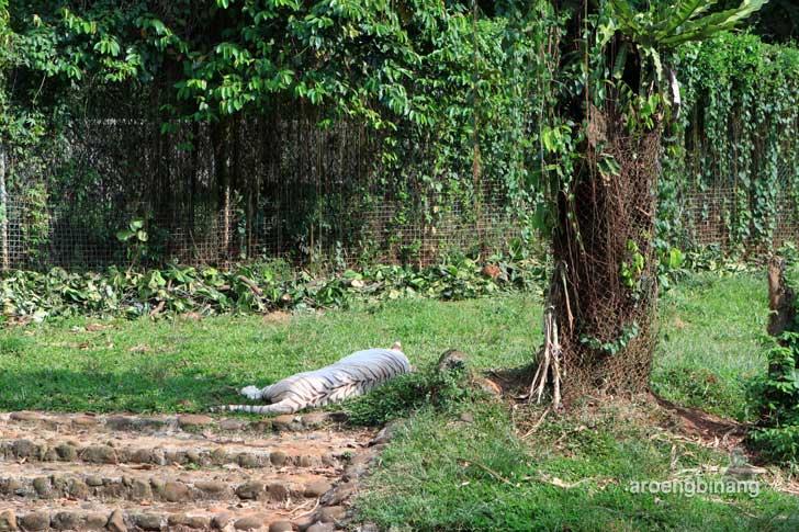 harimau benggala putih kebun binatang ragunan jakarta