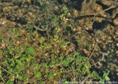 Peperina (Minthostachys verticillata)