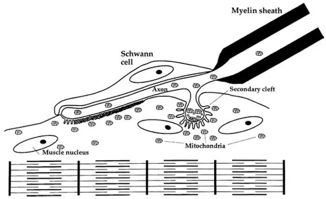 Neuromuscular junction.Axonal terminals (telodendria) rest in shallow depressions (primary clefts) on the surface of the striated muscle fiber. Secondary clefts increase the surface area for interaction with a neurotransmitter (acetylcholine). Muscle cell nuclei and mitochondria are abundant near the junction.