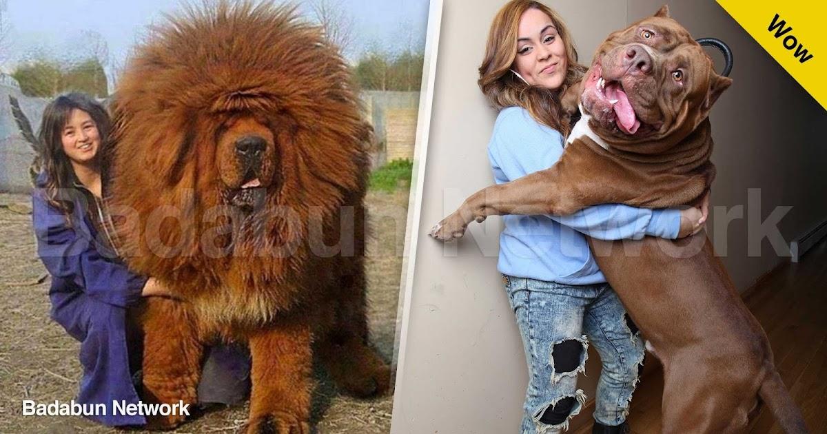 perros animales grandes gigantes enormes mundo fotos