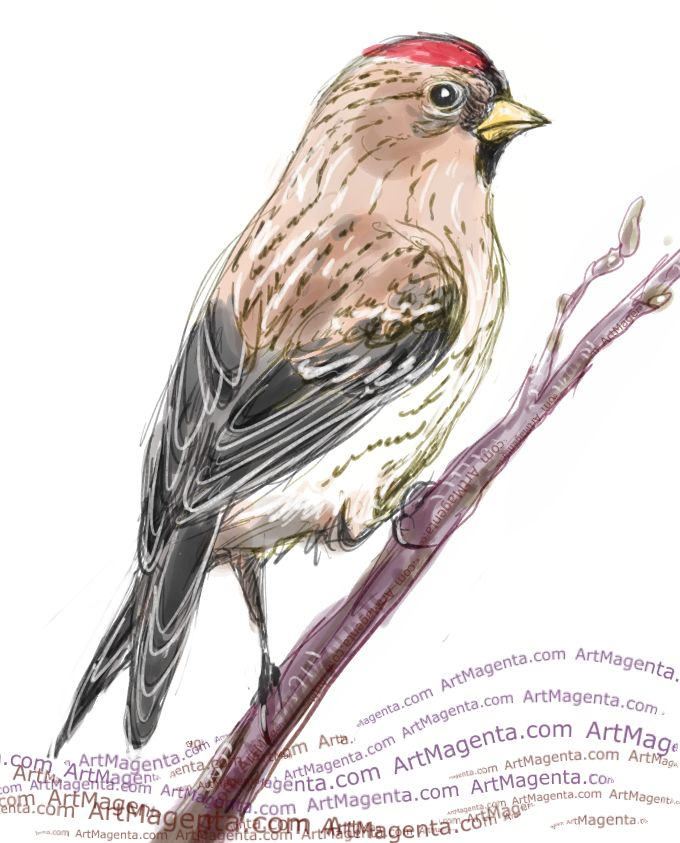 Redpoll sketch painting. Bird art drawing by illustrator Artmagenta