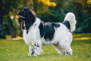 نيوفاوند لاند، كلب