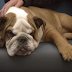 """EXCLUSIVE: Bulldog breeders attack grieving owner of Supervet's """"Molly""""."""