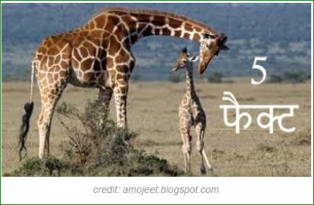 Top-5-Fact-about-Giraffes-inhindi