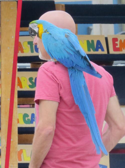 parrot on a man's shoulder