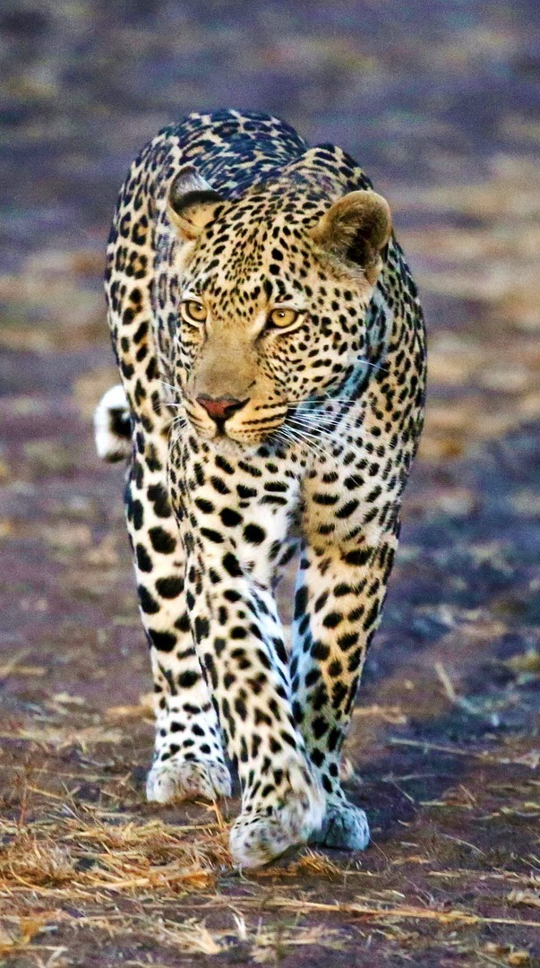 Leopard on the move.