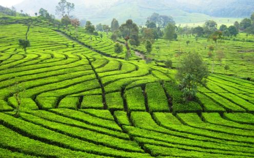 Tea Plantation on Wonosari