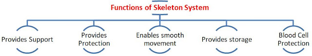 NCERT Notes for Fundamentals of Anatomy and Physiology Class